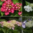 『アジサイ』 花の色