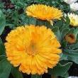 季節の花「金盞花 (きんせんか)」