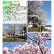 花巡り 「桜-その481」 吉羽公園