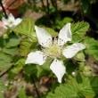 ブラックベリーのお花