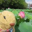 『上野恩賜公園 不忍池@蓮の花』なのだ