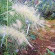 イネ科のふさふさの穂が好き