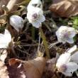 この時期に開花のセツブンソウの花