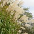 薄(Silver grass) Miscanthus sinensis 活力 心が通じる