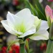 アマリリスの花は