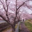 1週間早い満開桜 !!
