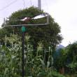 枝豆栽培、収穫して見た、カラス対策追加