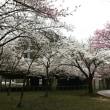 2018/4/14 湯沢中央公園の桜