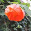 アブチロンの花