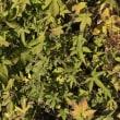植物の漢字 金葎(カナムグラ)