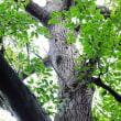 タマミズキの巨木