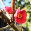 水仙「アケザナリー」とボケの花