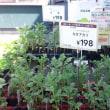 え、芽だしジャガイモが売っています
