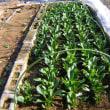 ほうれん草栽培2017年秋、食べる量だけ収穫した