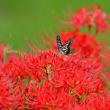 続・花と蝶