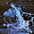 今日の野鳥  カワセミ ・ カイツブリ親子 ・ ホシハジロ ・ シジュウガラ