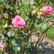 猛暑日に薔薇の花が頑張ってます!