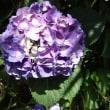 紫陽花に気をつけて