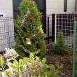 今年は庭のゴールド・クレストを直接飾りつけ!