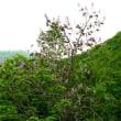 樹木ウォッチング冬から夏へ428キリ1
