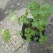 パセリとリーフレタスの苗を植えつけました