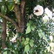 山茶花の小径
