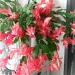 サボテン花盛り