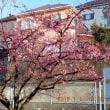 河津桜がもう咲いています。 2018-1-1