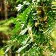 樹木ウォッチング冬から夏へ256サイカチ2