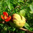 彼岸花見頃、草木瓜の花と実、カワセミ(翡翠)