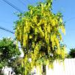 樹木ウォッチング冬から夏へ257キングサリ1