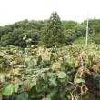 雨が少なくキウイの葉っぱが巻き傷んでいます。