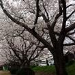気になる桜