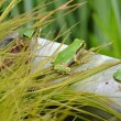 アマガエルの繁殖2017(3)~オタマジャクシからカエルに
