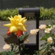 中之島バラ園~好きなバラ