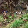 琉泉窯は、シャガ、ウバユリの群生地なのに3度のイノシシ襲撃