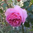管(くだ)菊と秋のバラ(その14)