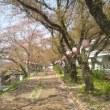美祢桜祭り