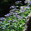 17紫陽花-2
