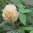 ☆台風前に咲く庭バラ