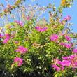 寒空に咲くブーゲンビリア・・・鹿児島の風景