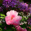 『季節の色』 牡丹