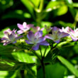 紫陽花咲き始めました