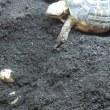 ニシヘルマンリクガメのハリコが産卵