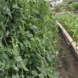 スナックエンドウ約3kg収穫