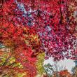 森林植物園 紅葉真っ盛り