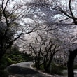 桜を見下ろす道