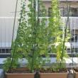 緑のカーテン成長記録