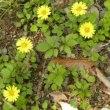 林縁にジシバリの花がいっぱい
