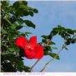 つるバラ〈アルテシモ 真紅の一重咲〉
